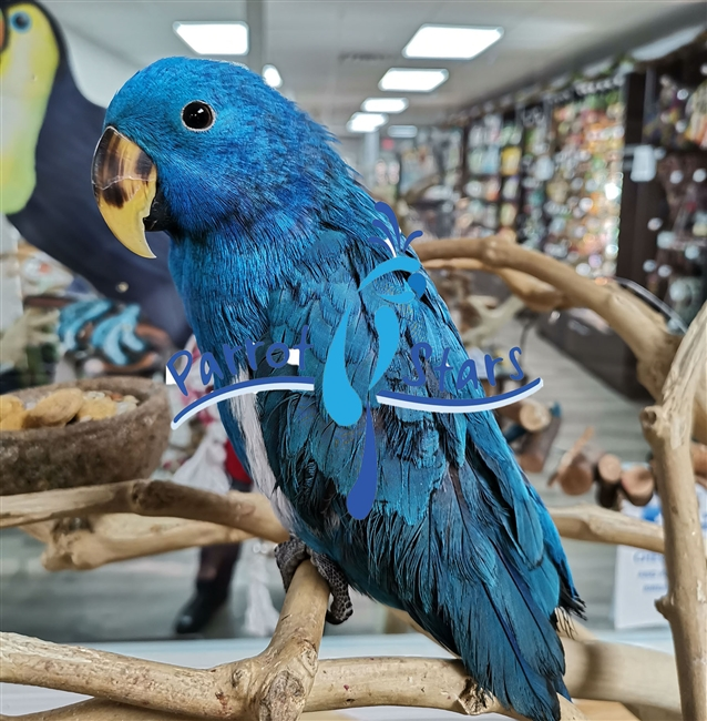 Blue Solomon Island Eclectus Male