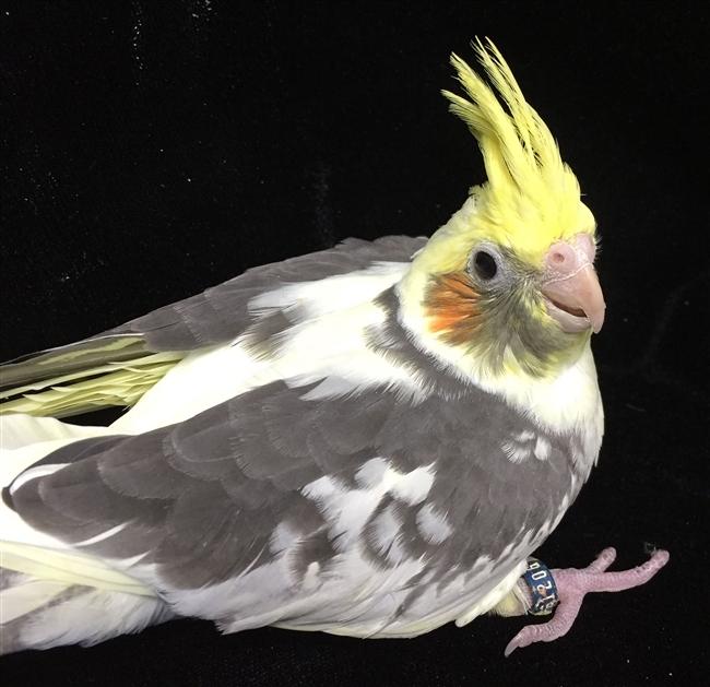 Learn about black headed caique parrot